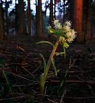 lesní kytka