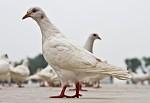 Bílí holubi
