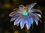 Noční kaktus 2
