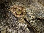 oko krokodýla
