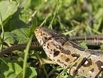 Ještěrka obecná (Lacerta agilis)
