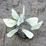 Motýlí sněm
