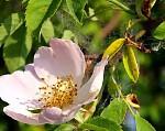 Květ plané růže