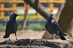 Ptačí páreček