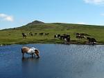 Divoke kone