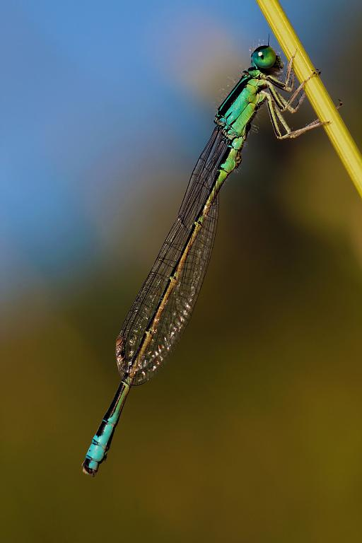 Šídélko větší (Ischnura elegans)