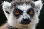 Lemurovi oči