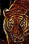 tygr usurijský