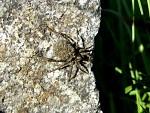 pavouk s mladými