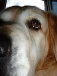 Jasné oko starého psa