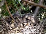 hladová ptáčata
