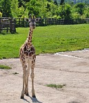 modelka žirafa