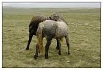 ..divlji konji...