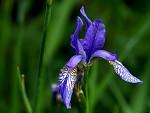 Kosatec sibiřský (Iris sibirica)