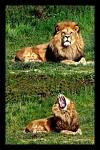 Lví zívnutí