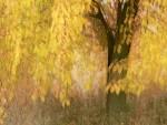 Zlatá třešeň