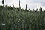 Nekončící pole obilí