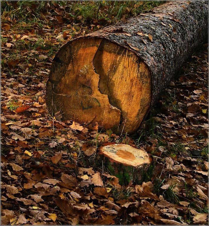 Dřevorubcův údiv
