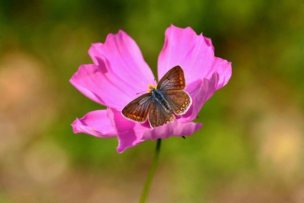modrásek hnědokřídlý