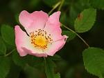 rosea puritas
