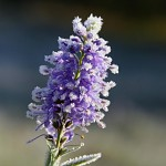 Ledový květ 1