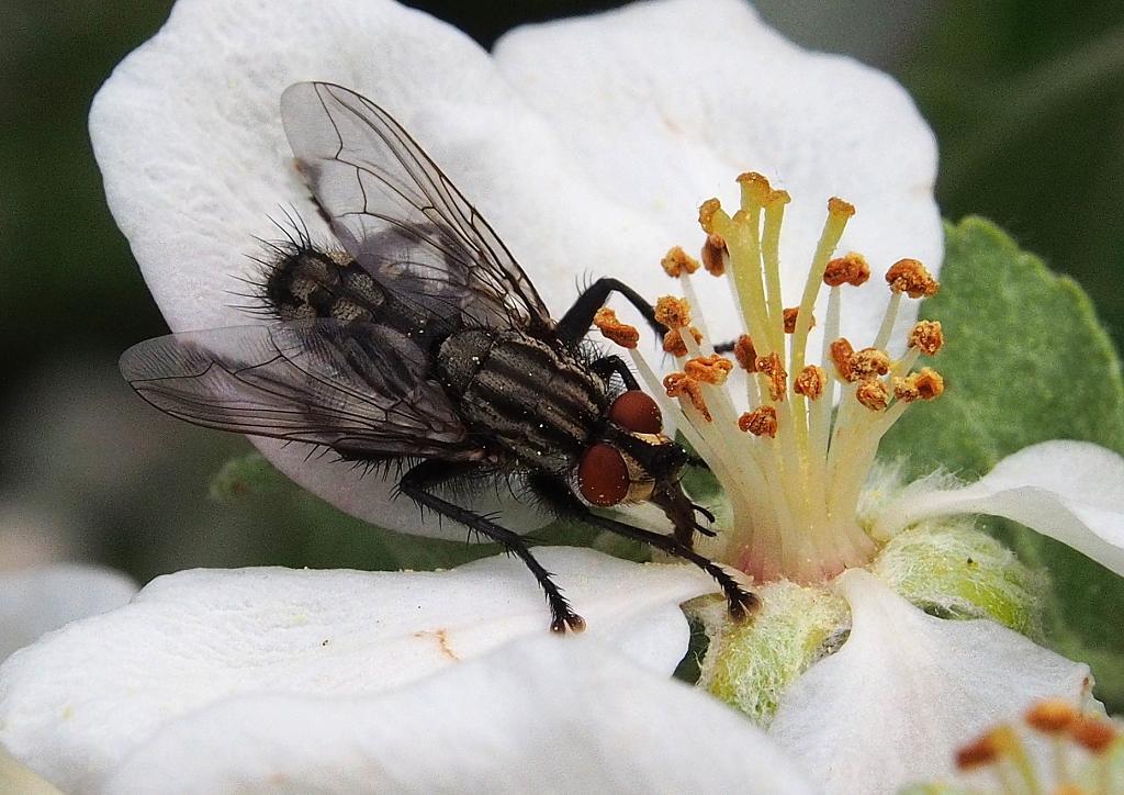 květ láká i mouchu