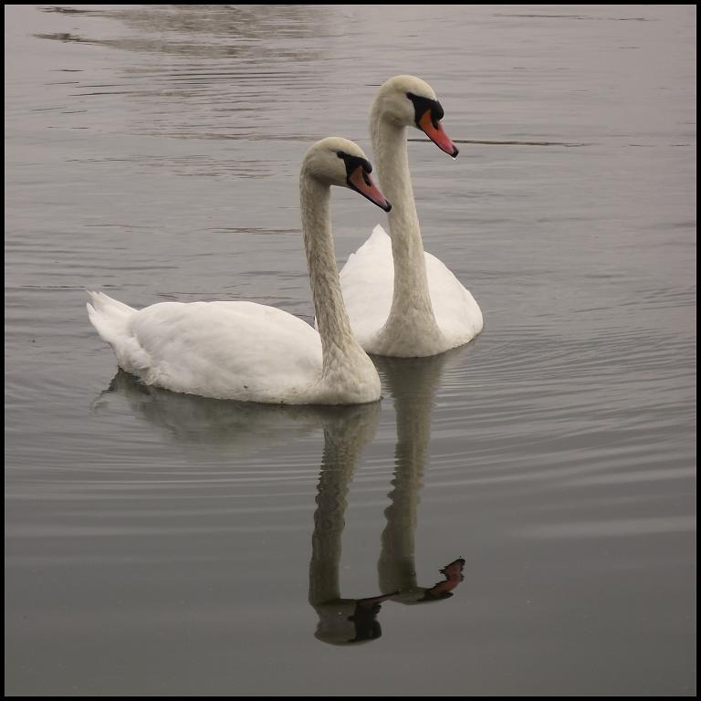 Bílá labuť ×2