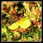 Vosička na květech