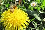 Pracující včelka