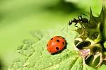 mravec riadi krizovatku