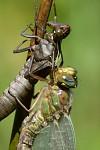 Brachytron pratense (šídlo luční)