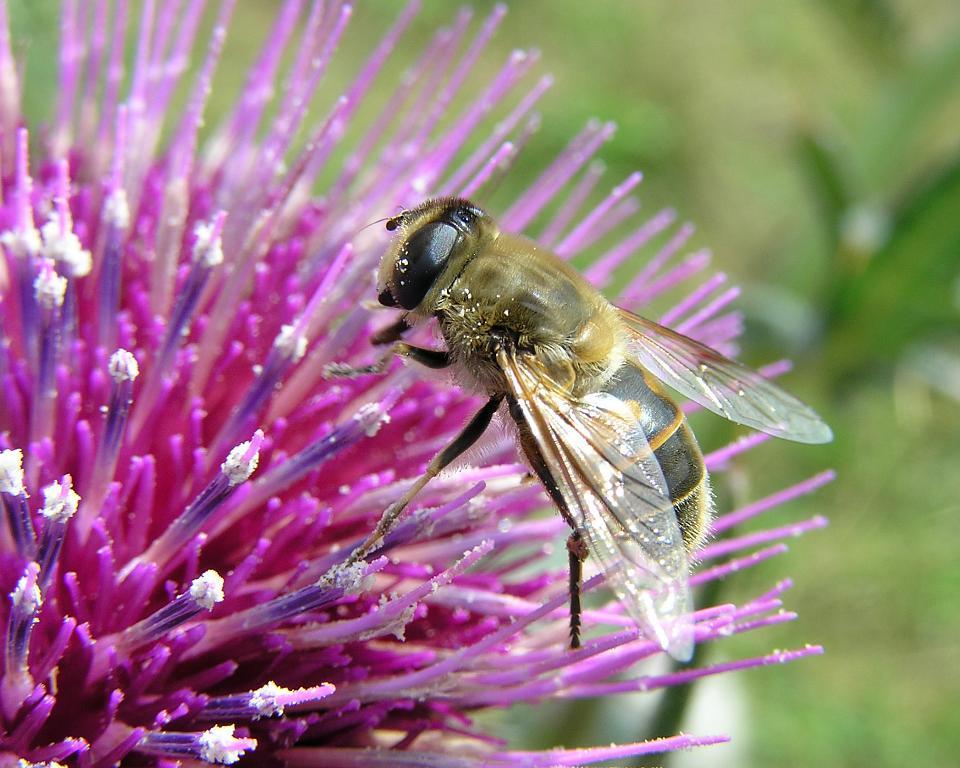 Odpolední siesta vysokohorské včelky