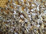 Včelí společenství