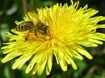Včela při sběru pylu