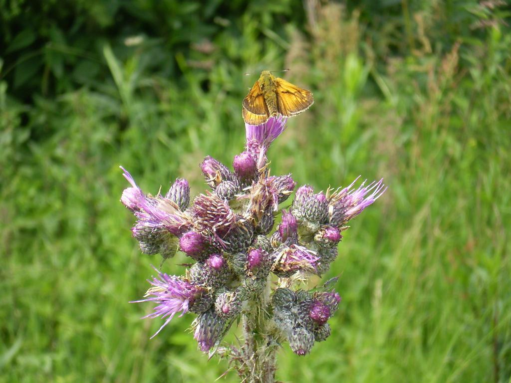 motýl z Lysé hory