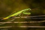 Modlivka zelená