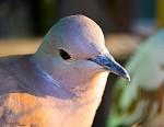 holub,či hrdlička