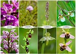 Výber orchideí zo Strážovských vrchov