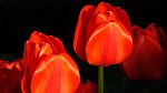 FujiFilm HS20EXR - tulipány