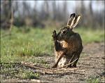 Urousaný zajíc