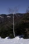 Ranena breza