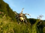 Pavúk kaskadér