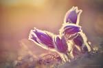 Koniklec velkokvětý (Pulsatilla grandis)