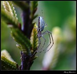 -Pavouček
