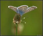 Motýlí květ