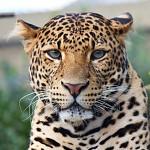 072 levhart j vsk panthera pardus melas