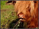 highlander skot