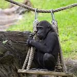 Přírůstek u goril