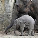 Přírůstek mezi slony