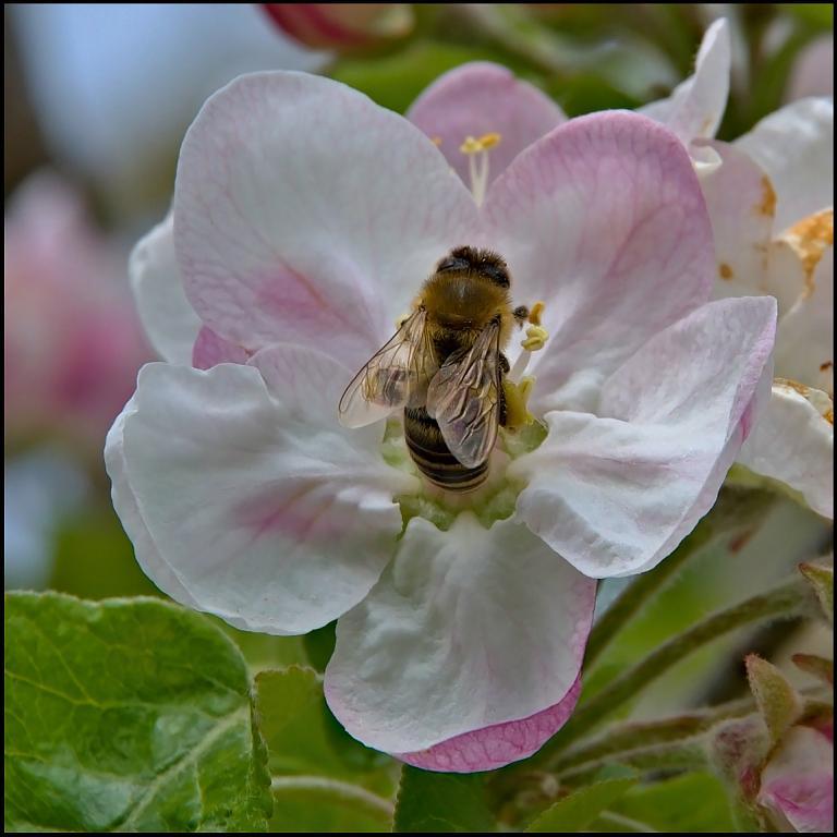 ještě jedna včelka